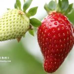 金马伦景点:EQ Strawberry Farm