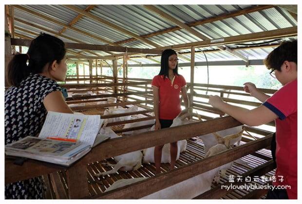 槟城旅游:浮罗山背莎能牧羊场 Saanen Dairy Goat Farm