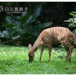 马六甲动物园 Zoo Melaka 鹿