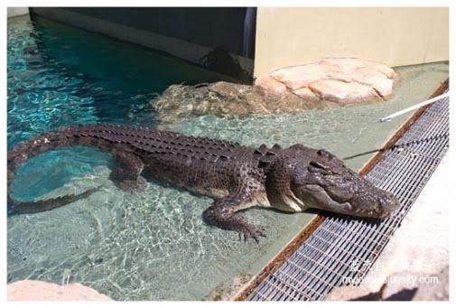 Big Croc Feed