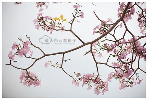 """槟城旅游:追风铃木""""赏樱"""""""