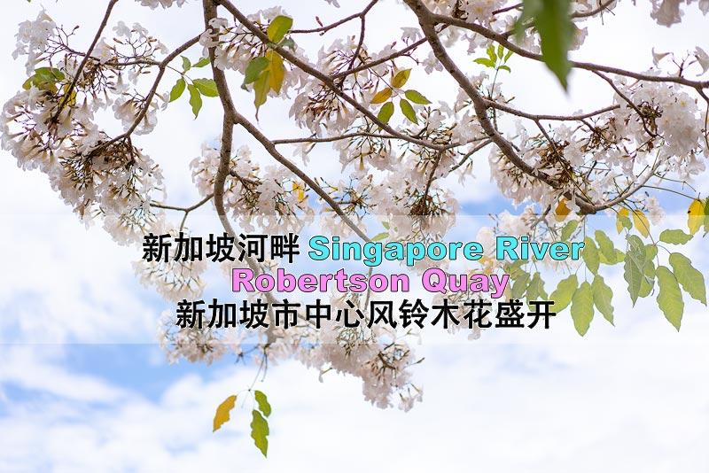 风铃木花在三月盛开,无形中给新加坡在感受到一份春意赏花