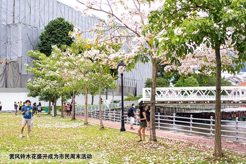 新加坡市中心的Robertson Quay河畔种满了风铃木