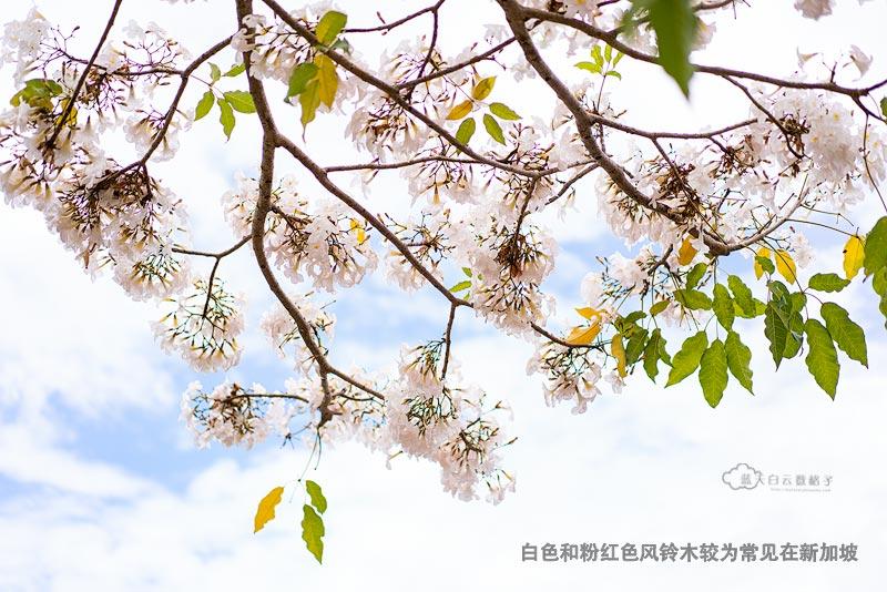 新加坡的各邻里社区都有风铃木在三月盛开